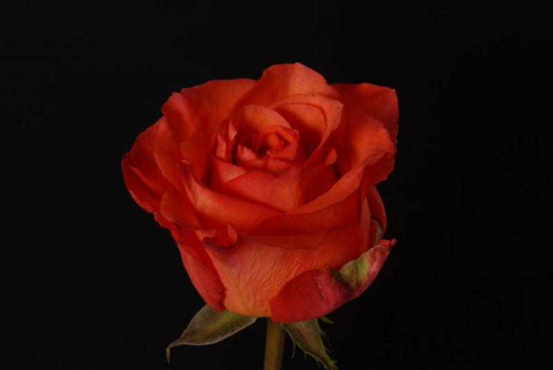 фото розы спутник кения
